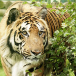 Public domain tiger picture