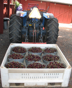 The cherry tractor at Wolfe's Cherries