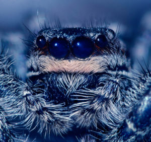Spiders https://en.wikipedia.org/wiki/Jumping_spider#/media/File:Marpissamuscosa.jpg