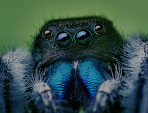 spiders https://en.wikipedia.org/wiki/Jumping_spider#/media/File:Phidippus_audax_male.jpg